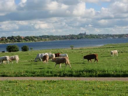 Køer på marken © Veddelev Landsbylaug