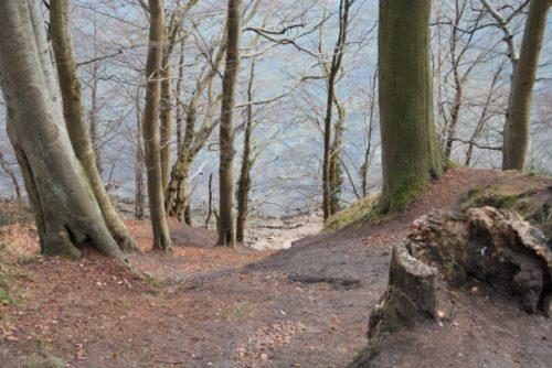 Skrænter med gamle træer langs vandet i Kollund Skov © Wikipedia