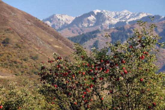Æbler i Kazakhstan. Kilde: Wikipedia