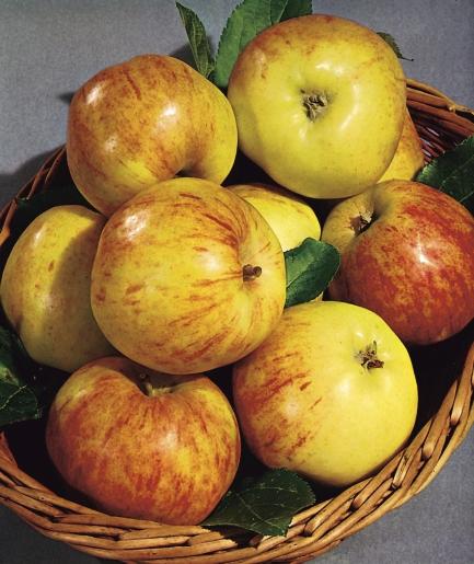 Graasten Æbler Kilde: Wikipedia