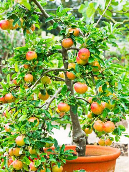 Podning af æbletræ i potte