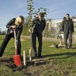 Plantning af æbletræ i Randers regnskov