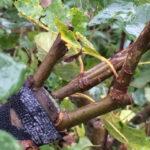 Podning af frugttræ