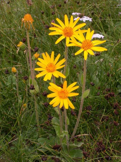 Guldblomme (Arnica Montana). Kilde: Wikipedia/Barbara Studer
